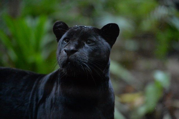 jaguar (7)
