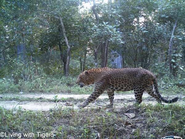 Leopard in Nepali