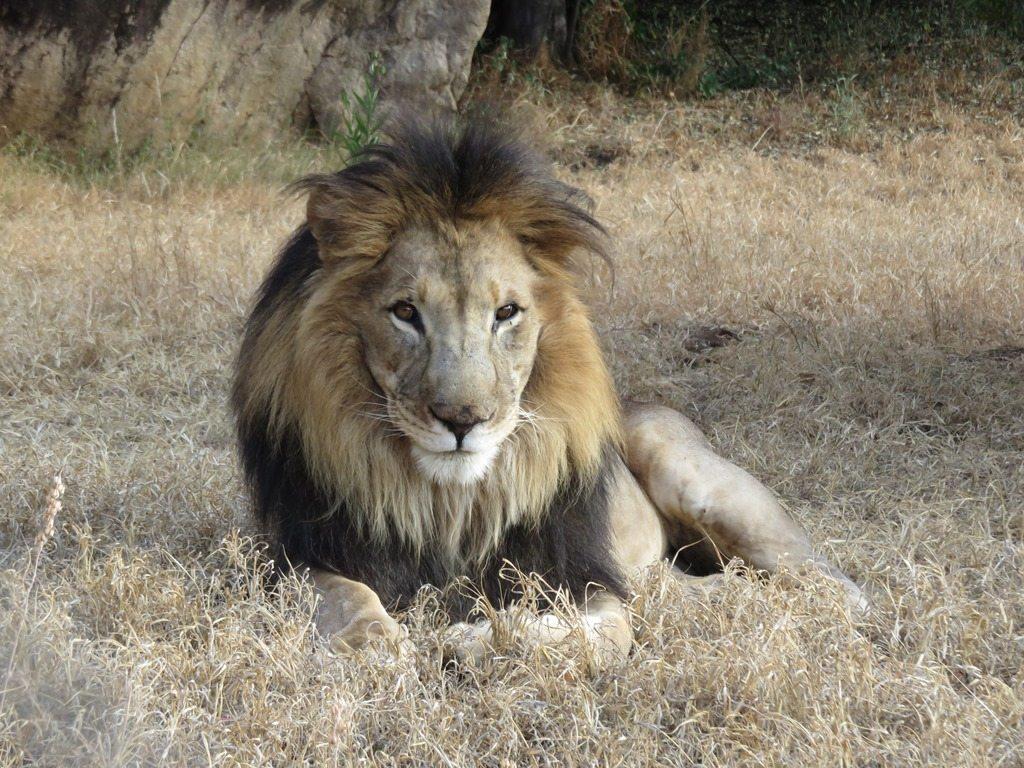Lion lying down on grass