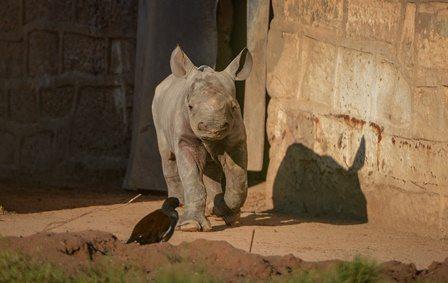 Male Eastern black rhino calf, Gabe, at Chester Zoo