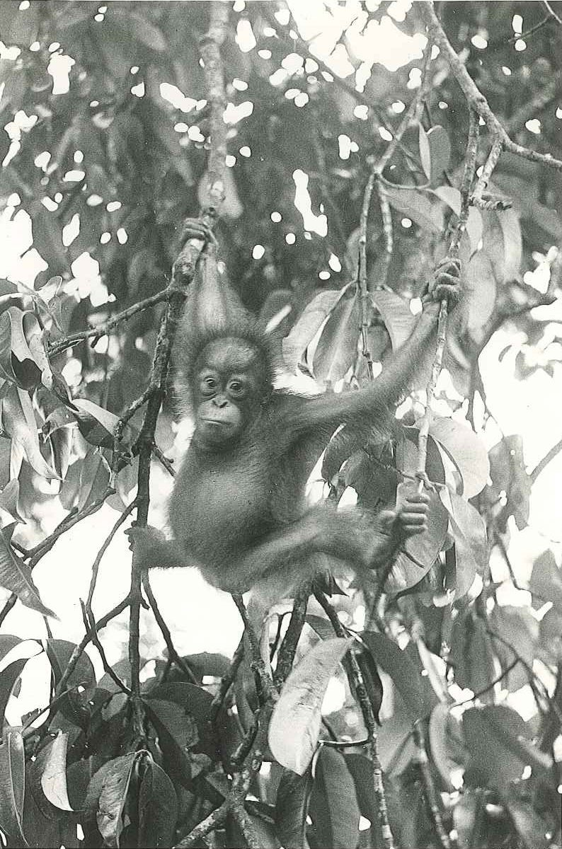 Black and white image of Martha the Bornean orangutan at 18 months old