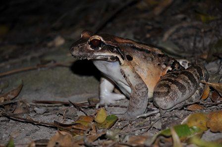 Mountain chicken frog - Photo: Gerardo Garcia