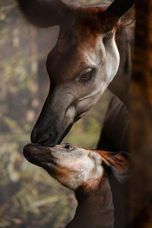Okapi calf Usala with mum Stuma