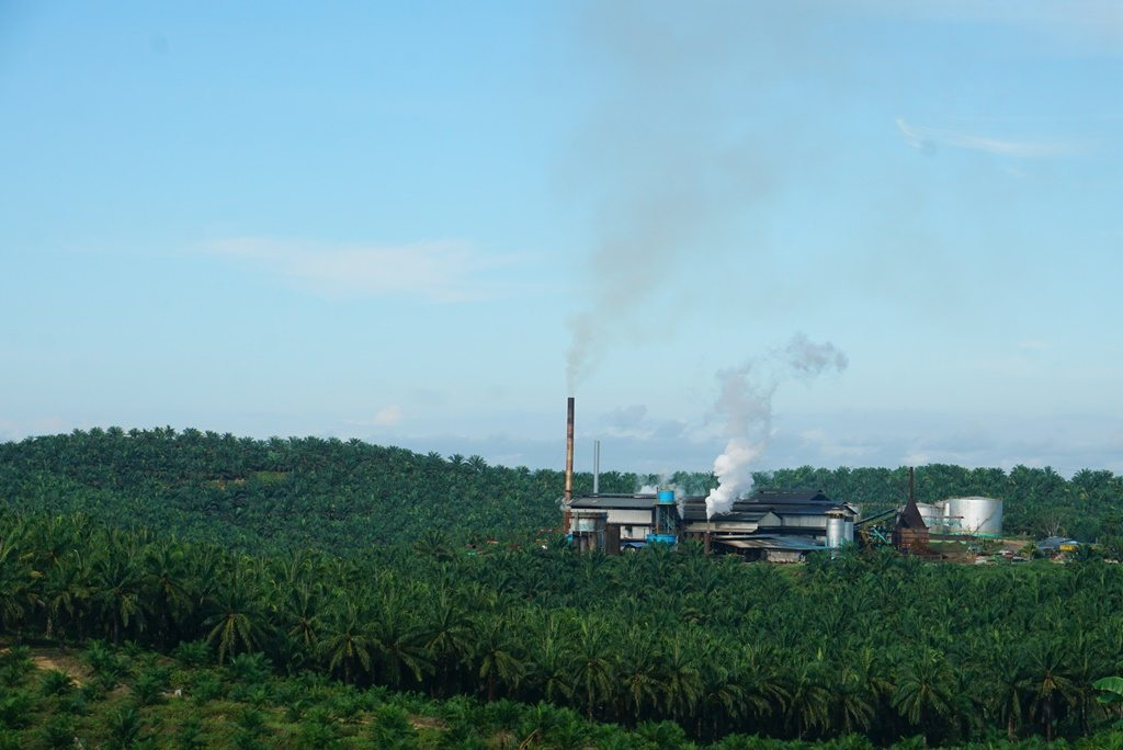 Oil palm plantation in Borneo surrounded by palm oil plants