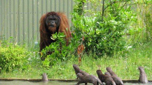 Puluh - Sumatran orangutan at Chester Zoo