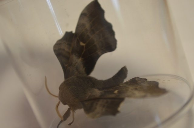 A poplar moth that was found in a moth trap at Chester Zoo