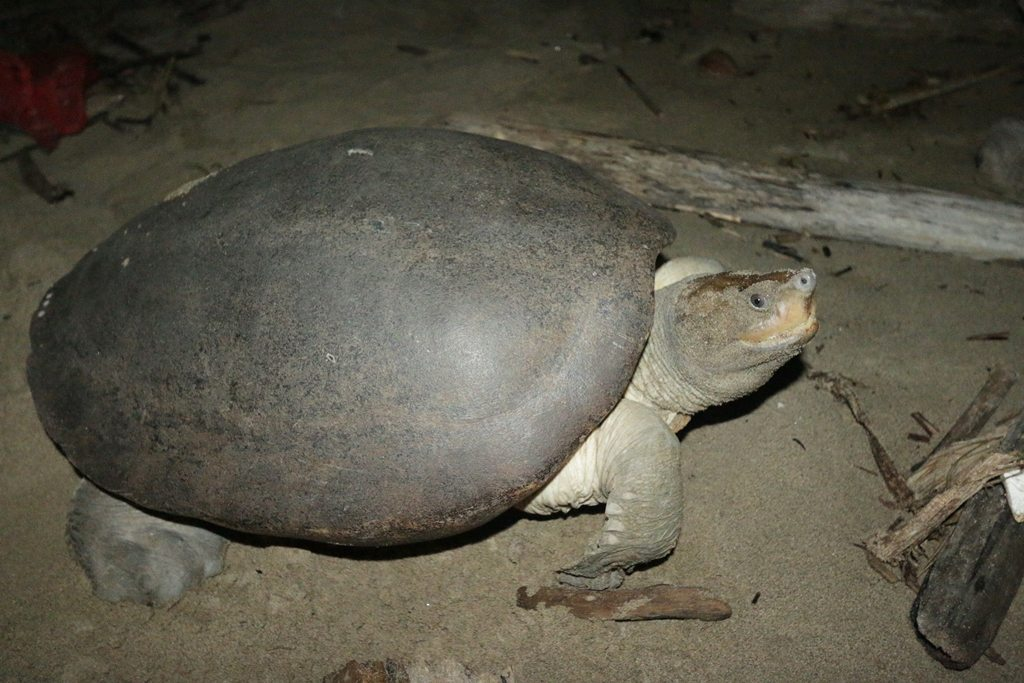 Sumatran painted terrapin on beach