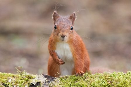 Red squirrel. Photo credit: Sam Rowley Photography