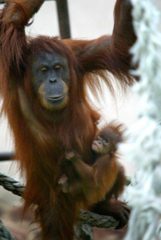 Subis and Bundi - orangutans at Chester Zoo