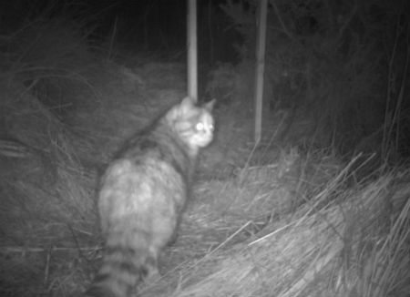 Tabby with fat tail & blotches rather than stripes. Photo credit: Scottish Wildcat Action