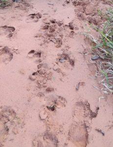 Tapir footprints. Photo credit: Lowland Tapir Conservation Initiative
