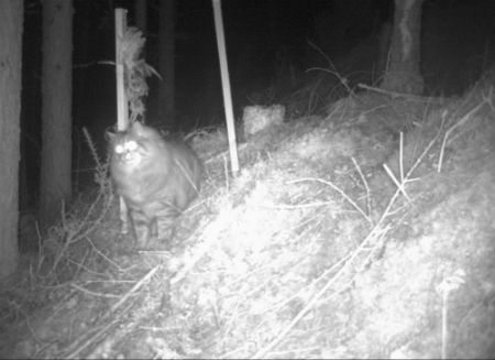 The 'maned' cat, nicknamed Lionel by staff. Photo credit: Scottish Wildcat Action