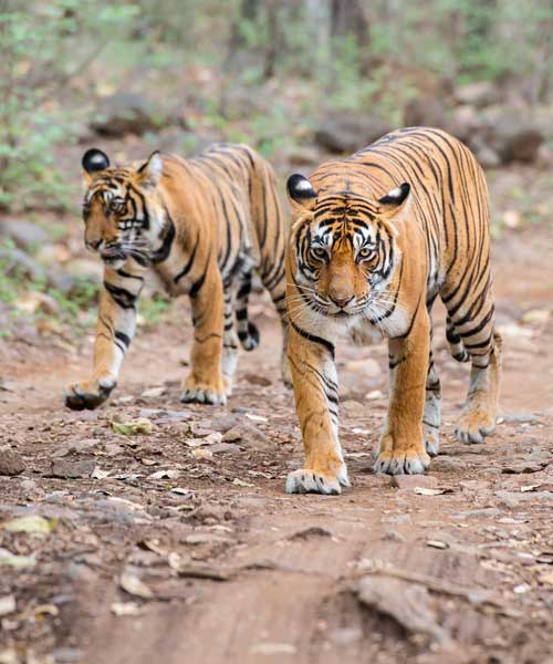 Tigers in the wild