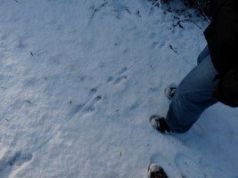 Otter Tracks in the Snow