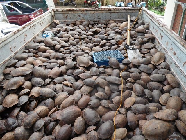 Over 4,000 turtles were confiscated from a convoy in Palawan. Credit: Katala Foundation
