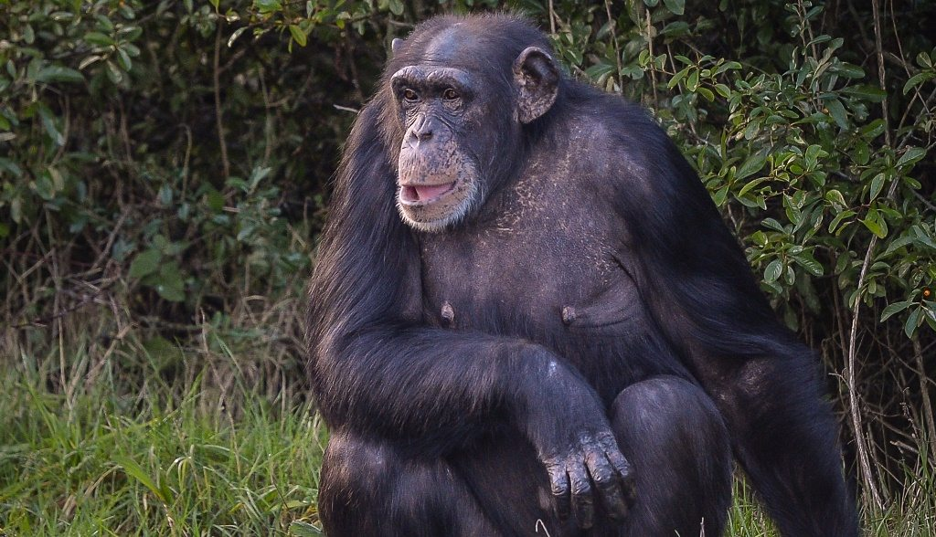 westernchimp-small-1