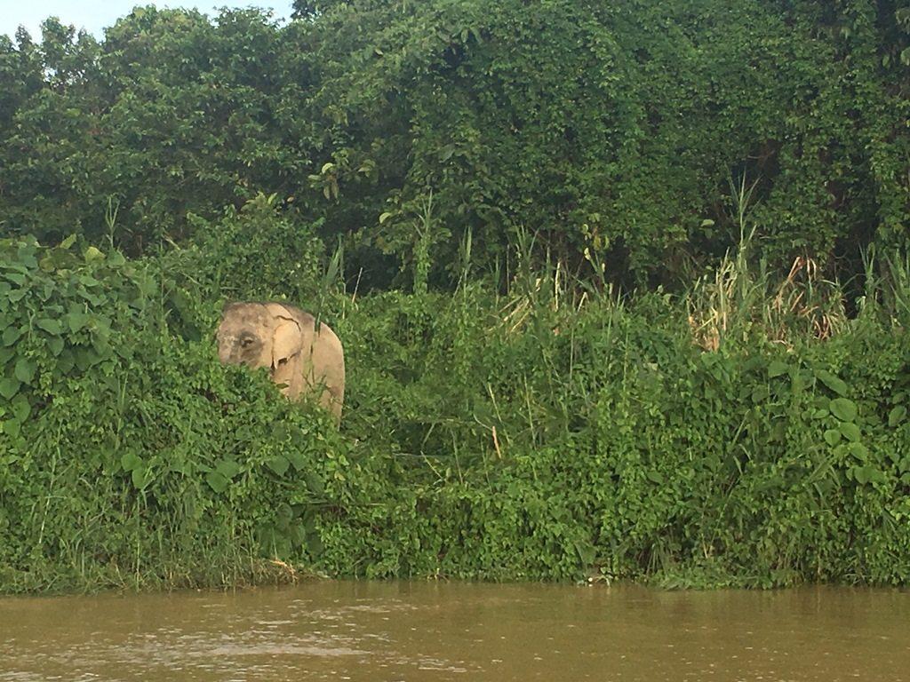Wild Asian elephant in Borneo