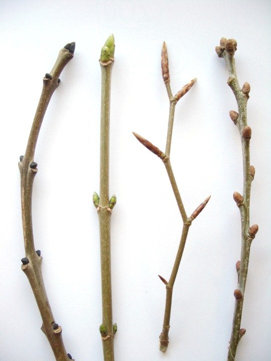 From left to right: Ash, Sycamore, Beech and Oak
