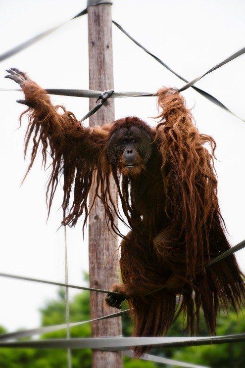 Orangutan at Chestser Zoo