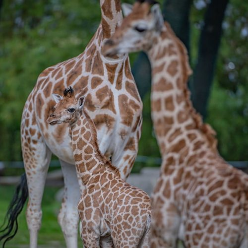 Giraffe calf and mum