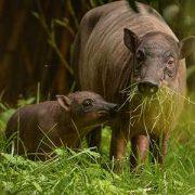 Babirusa | Chester Zoo