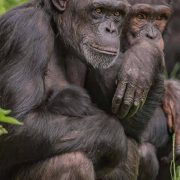Chimpanzee's at Chester Zoo chimpanzee habitat