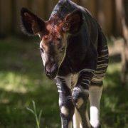 Okapi   Chester Zoo