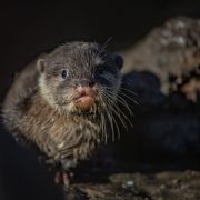 Baby Asian Short Claw Otter | Chester Zoo