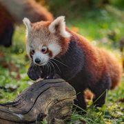 Red Panda | Chester Zoo