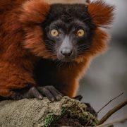 Red Ruffed Lemur | Chester Zoo