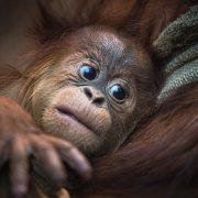 Baby Sumatran Orangutan | Chester Zoo