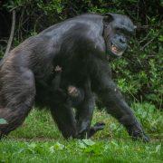 Chimpanzee | Chester Zoo
