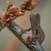 Bearded Pygmy Chameleons | Chester Zoo