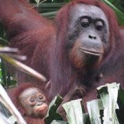 Sustainable Palm Oil - Bornean Orangutan - Borneo